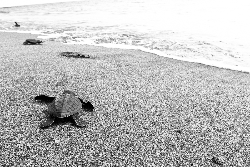 baby turtles heading towards the ocean